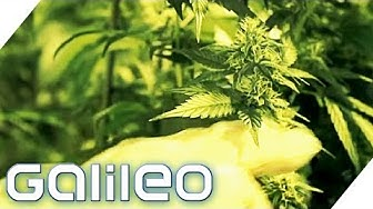 Die legalen Cannabisprodukte der Schweiz | Galileo | ProSieben