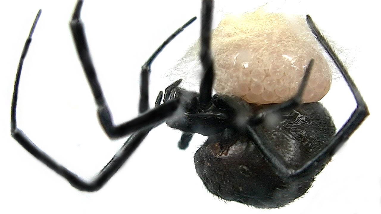 How to Make Spider Eggs