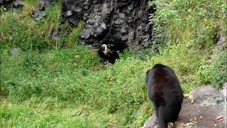 2012 Ecuador   Banos, EcoZOOlogico San Martin, Oso de Anteojos, Spectacled or Andean Bear
