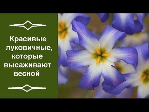 Вопрос: Какие луковичные растения комбинируются с розами?