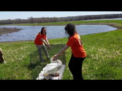 Wildlife Medical Clinic at Illinois Releases Pelican