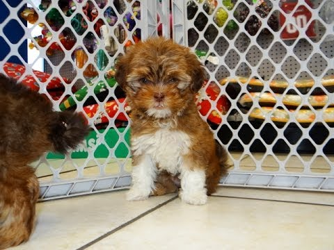 yorkie puppies for sale in ga yorkie tzu puppies dogs for sale in columbus macon 989