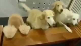 Very Obedient Dogs Listen And Execute Commands At The Table