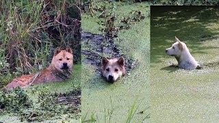 中华田园犬狩猎纪实,小白阿黄灰灰深入沼泽各显身手,看谁更厉害!发布...