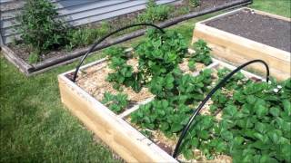 Strawberry bed netting - Updated