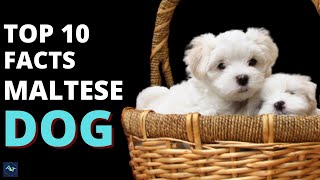 MALTESE DOG  TOP 10 Interesting Facts About A Maltese | Funny Maltese Videos Compilation