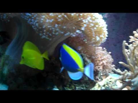 Blue Powder Tang Fish
