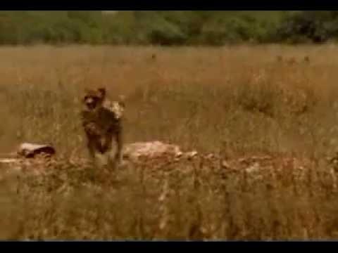 Анекдоты про гепардов -