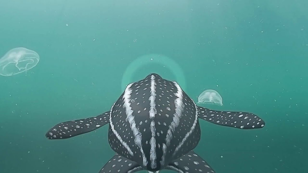 endangered leatherback turtle spotted