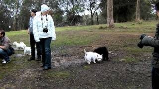 Westie Winter Walk Aug 2011 - Tasmania