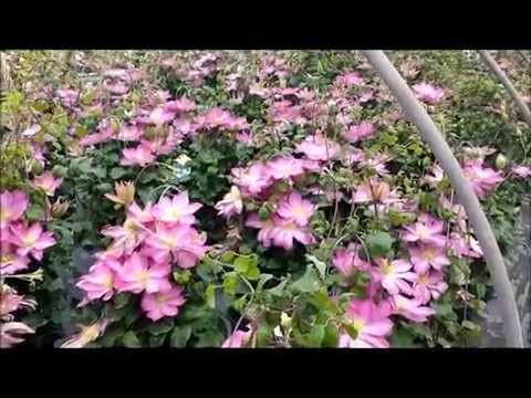 Best Flowering Vines - Clematis Asao