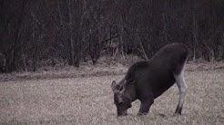 HIRVEN METSÄSTYSTÄ 2017 Moose hunting 2017