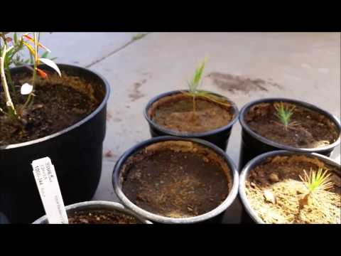 Ponderosa pine seed germination and growth progress.