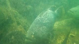 サメをひと飲みするゴリアテ・グルーパー @チャンタブリーの水族館 ゴライアスグルーパー 検索動画 22