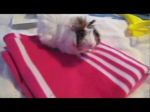 Fleece vs bedding for guinea pigs youtube for How to make a guinea pig bed
