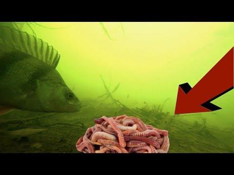 Реакция рыбы на ПУЧОК ЧЕРВЕЙ! Окунь. Осень 2018. Подводная съемка