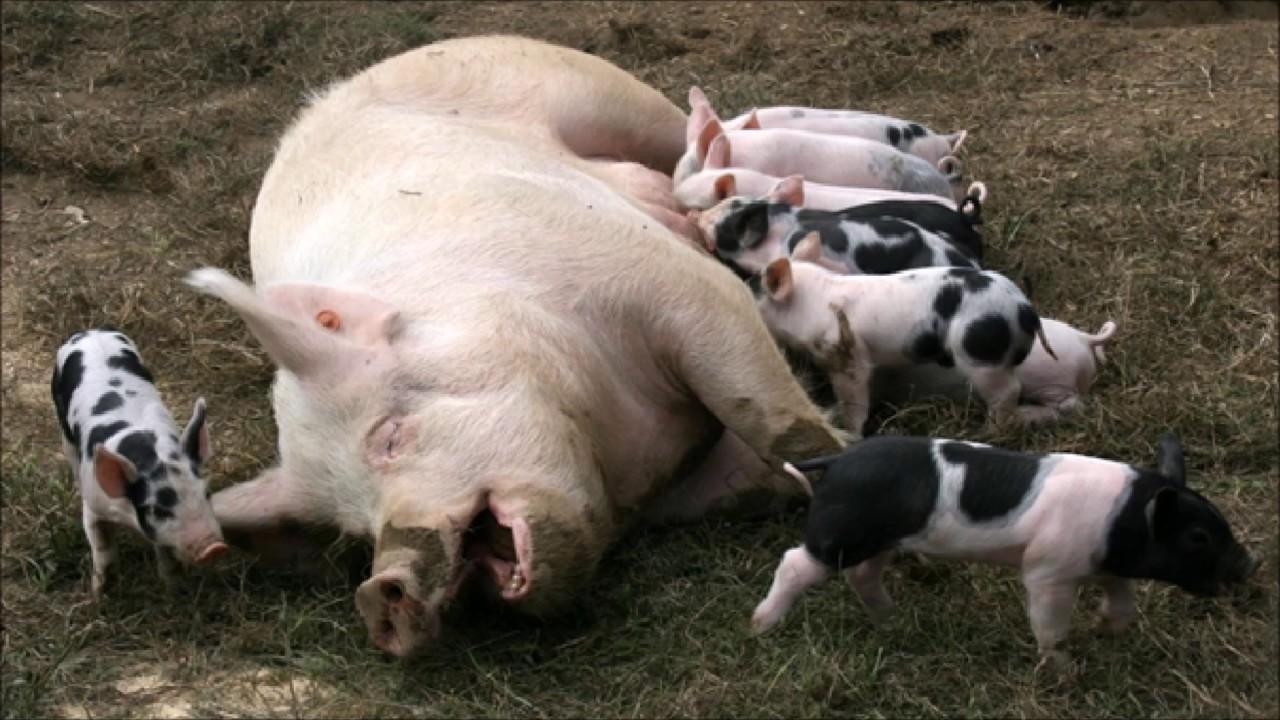 Animal sounds: Pig sound - YouTube