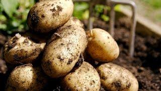Что дает пригибание стеблей? Эксперимент с картофелем.
