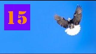 Голуби Крыма, Алексей Василишин, Евпатория (15)(+79780085391 #Крым, Евпатория, Лётные Голуби#, 2016-07-10T13:10:22.000Z)