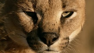 How do cats always land on their feet? - Life in the Air: Episode 1 Preview - BBC One