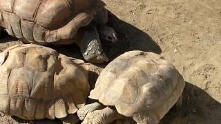 理科とか苦手で「千葉市動物公園 2016.10 アルタブラゾウガメ」 http://rikatime.blog110.fc2.com/blog-entry-2497.html.
