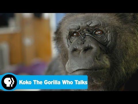 KOKO THE GORILLA WHO TALKS | Preview | PBS
