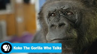 KOKO THE GORILLA WHO TALKS | Preview | PBS