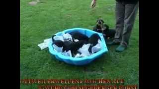 Rottweilerwelpen Mit 6 Wochen Beim Training