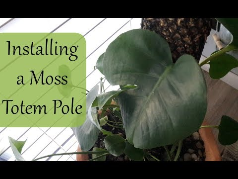 Installing A Moss Totem Pole  (Monstera Deliciosa Care, Split Leaf Philodendron)