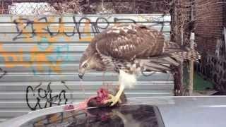 Hawk Eating NYC Rat Part 1