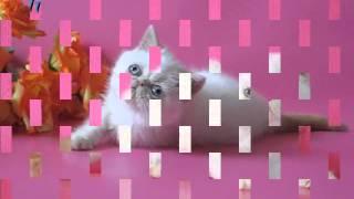 экзотичекий котенок , питомник ELIT BELL