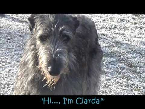 Scottish Deerhounds von Alshamina