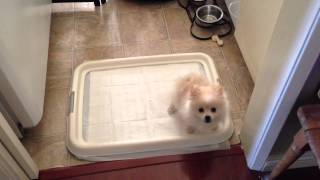 My Pomeranian Puppy Getting Potty Trained! He Pees! ~ Part 2
