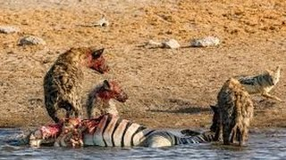 Animal Documentary National Geographic   HYENA EATS HORSE & More! HD 2016