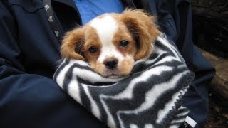 Adorable Cavalier Puppy Just Wants To Be Left Alone