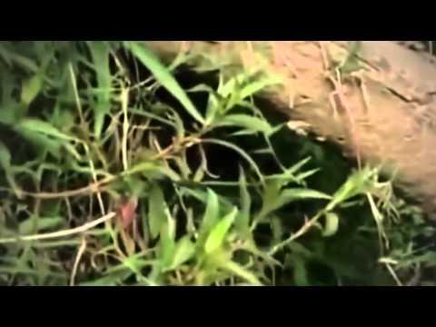Platypus   World's Strangest Animal Ever lived   Mysteries Full Length Documentary