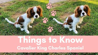 Things to Know | Cavalier King Charles Spaniels