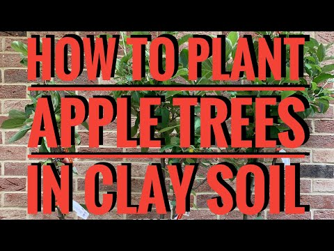 How to Plant Apple Trees in Clay Soil and what is a root stock || Hectare Homesteader