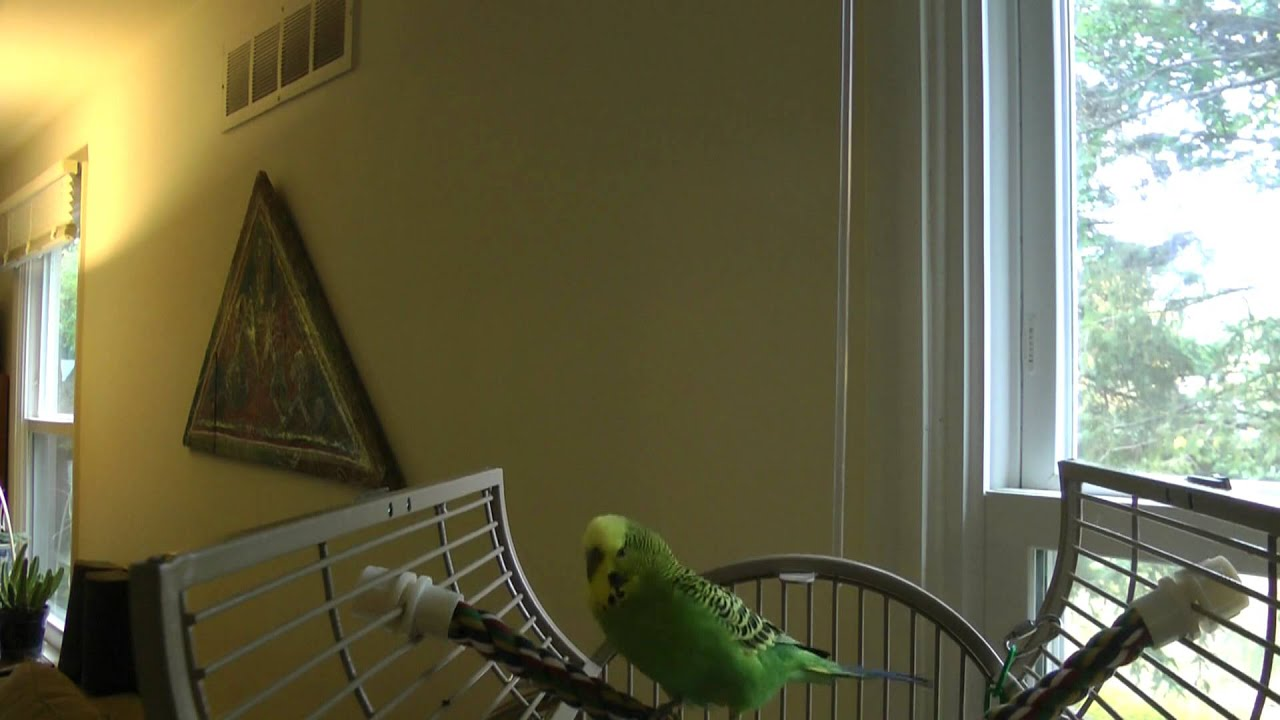 Beat Boxing Bird Disco The Parakeet