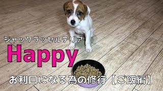 生後2か月のジャックラッセルテリアの子犬、名前は「Happy」。 お利口...