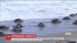 На тихоокеанському узбережжі Мексики помітили тисячі оливкових черепах