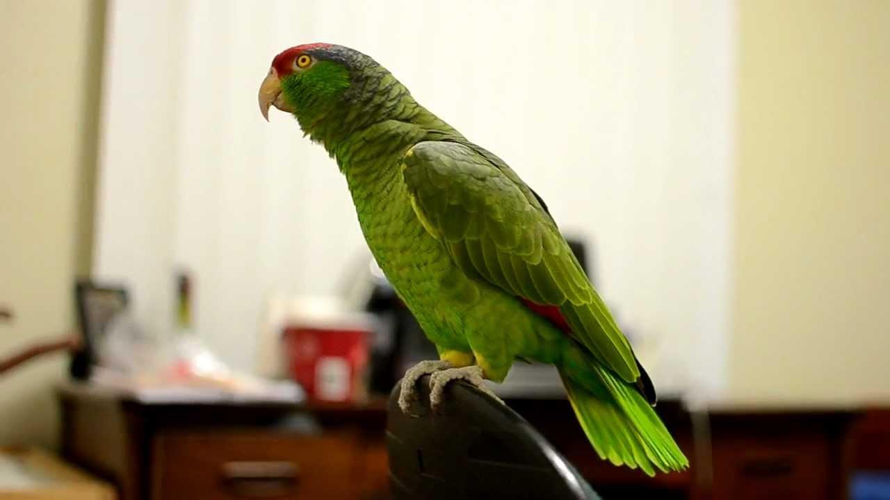 Talking Amazon Parrot Youtube
