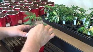 Medical Cannabis - MediGrow Update #36 - Transplanting Clones
