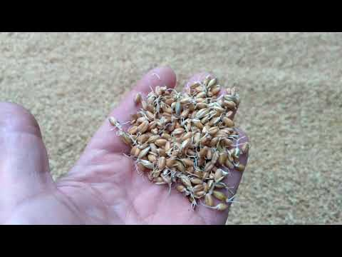 Солод пшеничный для ароматного самогона ! ( Эксперимент )