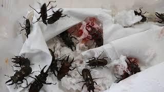 다우리아사슴벌레 이벤트 !!!!  곤충표본가격에 다우리…