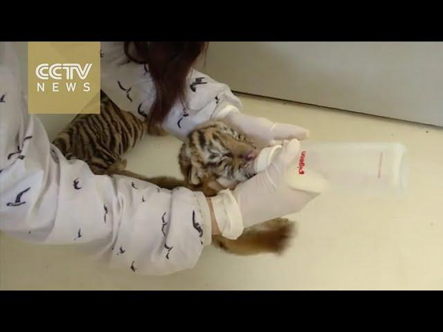 Así son los primeros pasos de los cachorros de tigre en este mundo
