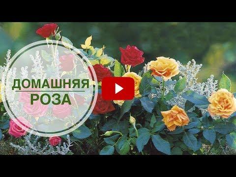 роз фото сад