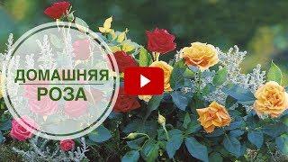 Домашняя роза 🌺 Посадка в открытый грунт ➡ Можно ли? 🌺 Полезные советы от hitsadTV