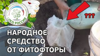 Народные средства от фитофторы. Обработка томатов молочной сывороткой.(В этом ролике - способ борьбы с фитофторозом с помощью молочной сыворотки. Как приготовить раствор для..., 2015-07-15T09:14:55.000Z)