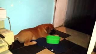 """""""Chizzo"""" mi Bullmastiff de 2 meses"""